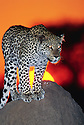 Leopard (captive) on Termite Mound, private game reserve, Namibia, Southern Africa,