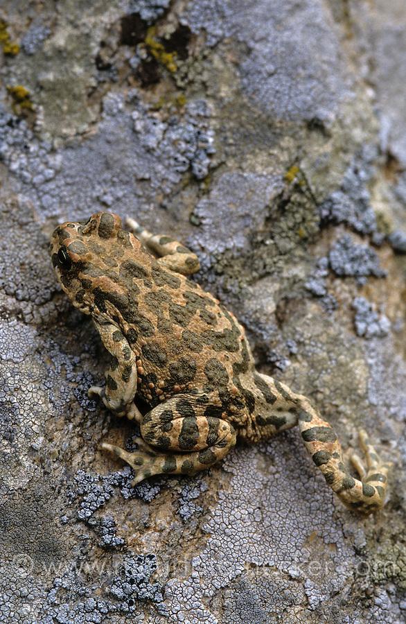 Wechselkröte, Wechsel-Kröte, Grüne Kröte, Bufo viridis, green toad