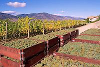 Harvested Green Grapes packed in Crates in Vineyard, Okanagan Falls, South Okanagan Valley, BC, British Columbia, Canada