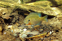 Bluegill Sunfish guarding eggs/nest<br />