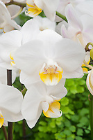 Phalaenopsis Timothy Christopher hybrid white orchid with yellow lip, spray inflorescence of many flowers