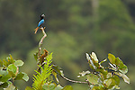 Blue Bird of Paradise perching and calling from the top of a tree.  Near village gardens owned by Phillip outside Herowana village...