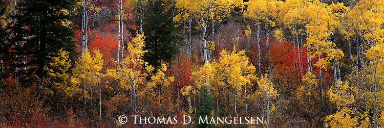 Autumn brings the color change to the aspens and bigtooth maples in Snake River Canyon, Wyoming.