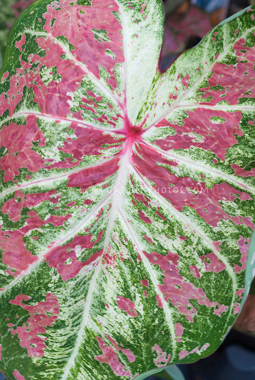 Fancy leaved Caladium Raspberry Moon