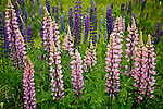 Fields of Lupines bloom in June in Sugar Hill, NH, USA