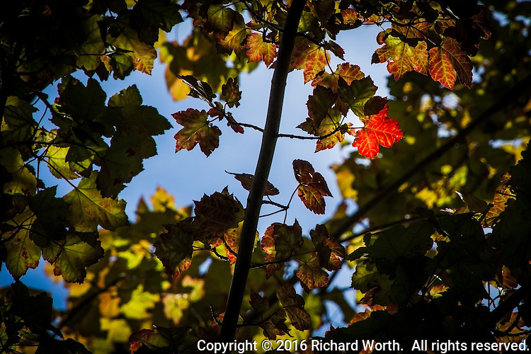 One red leaf stands out, surrounded by shades of fall transition from green in the branches of a city park tree.