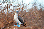 A blue footed booby on North Seymour Island in the Galapagos National Park, Galapagos, Ecuador, South America