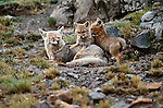 Gray Foxes, Torres del Paine National Park, Chile. Once I had habituated these foxes to my presence by maintaining a low profile, I could remain very close to the den and capture their daily interactions.