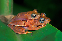 Dumeril's Bright-eyed Frogs mating (Boophis tephraeomystax), Andasibe-Mantadia National Park, Madagascar