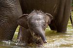 Rosa, le bébé éléphant de Sumatra