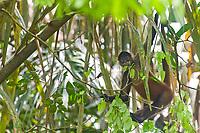 Spider monkey, Tortuguero, Costa Rica, Central America.