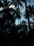 Palm trees in the South Pacific. Vanatau, South Pacific.