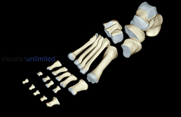 An anterolateral view of the bones of the foot. (The bones have been separated.) Royalty Free