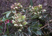Helleborus x sternii hellebore