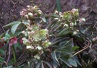 Helleborus x sternii hellebore