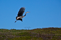 Wngs outstretched, a Great Blue Heron takes off to find a better place to look for lunch.