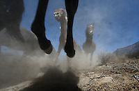 Mustangs bound over rocks and a camera while running into a trap set for them in the Jackson Mountains of Nevada.