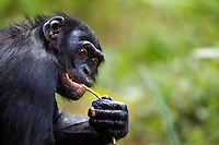 Bonobo mature male aged 17 years feeding (Pan paniscus), Lola Ya Bonobo Sanctuary, Democratic Republic of Congo.
