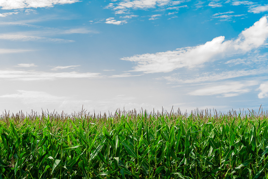 Field of corn in the sun with a blue sky and clouds