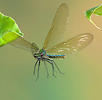 Banded Demoiselle Damselfly, Calopteryx splendens, female, In flight, free flying, High Speed Photographic Technique.United Kingdom....