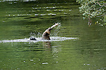 Grizzly bear swinging the salmon over his head while eating in the river
