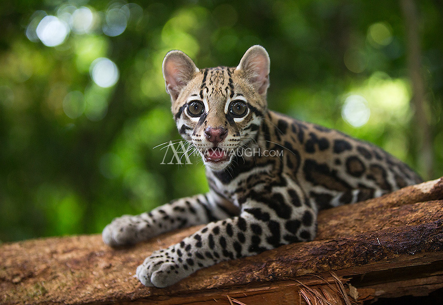 This is a wild ocelot.  It was orphaned when its mother was hit by a car.  After being rescued and nurtured for several months, it was released back into the wild on the Osa Peninsula.  Because it was hand-reared for a time, it has no natural fear of humans, and could be considered habituated.  This animal was NOT baited.  It lived in the jungle and I was able to walk with it as it marked territory and hunted birds and lizards.