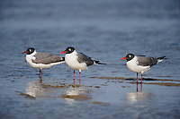 540000005 a wild flock of three adult franklins gulls larus pipixcan stand together in the surf along the beach of south padre island in the gulf of mexico just off the texas coast