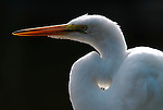 Yellow Billed or Intermediate Egret, Egretta intermedia, white, backlight. .Africa....