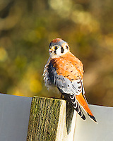 An American Kestrel (Falco sparverius) is perched on top of a tilted sign post in the Ridgefield National Wildlife Refuge during winter