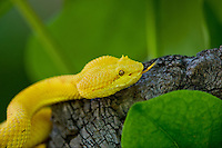 489180016 a captive golden yellow with black flecks eyelash viper bothriechis schlegelii sits coiled on a tree limb species is native to south and central america