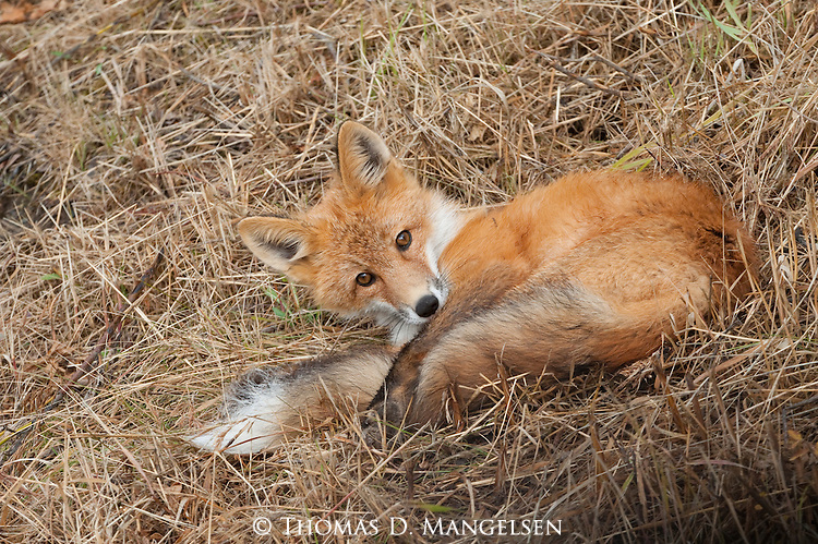 A red fox lays in brown grass in Denali National Park, Alaska.