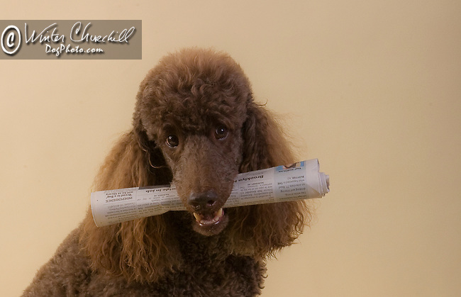 Poodle <br />