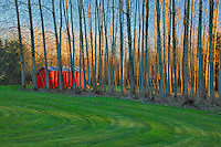 Red shed framed by poplar trees in Clackamas County, Oregon