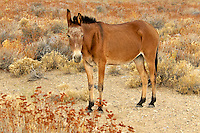 660720002 a domesticated mule stands in an open field of wild grasses on the eastern edge of the eastern sierras in central california