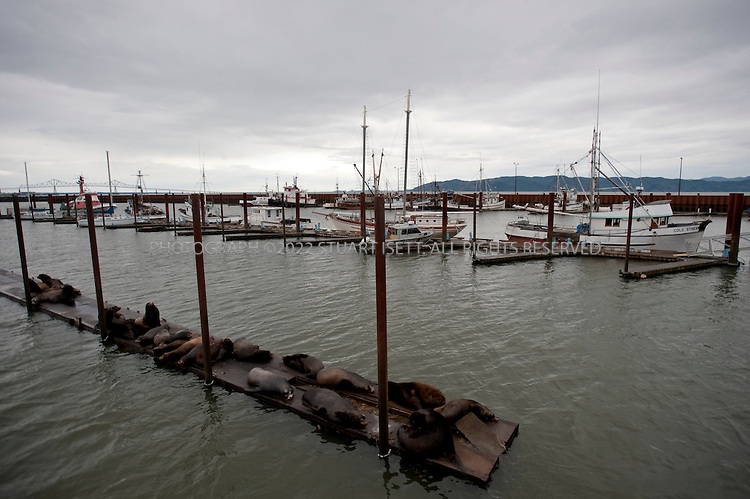 3/1/2009--Astoria, OR, USA..Harbor seals and fishing boats at Pier 37 in Astoria, OR. Astoria's economy centered around fishing, fish processing, and lumber. In 1945, about 30 canneries could be found along the Columbia but many have now closed...©2009 Stuart Isett. All rights reserved.