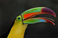 Rainbow-billed, Sulfur-breasted, Keel-billed Toucan (Ramphastos sulfuratus)