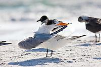 Preening royal tern with laughing gulls on the shoreline at Anna Maria Island, Florida, USA