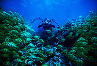 """Photographer Randy Olson diving in the military canal, Palmyra Atoll.  Olson and Gary Bell were the first to dive this area under the auspices of the Nature Conservancy. The largest purchase to date for the Nature Conservancy is the Palmyra an atoll situated about 300 miles north of the equator.  Palmyra has five times as many coral species as the Florida Keys and three times as many as Hawaii.  It is home to the world's largest invertebrate, the rare coconut crab, and a population of red-footed booby birds second only to that of the Galapagos.  It is the last marine wilderness area left in the U.S. tropics and is home to the last remaining stands of Pisonia grandis beach forest in the world.  Palmyra was a US Navy supply base in World War II, the site of a proposed nuclear waste dump, an unsuccessful coconut plantation and of various development schemes.  Palmyra is most famous for the 1974 slaying  of a married couple which became the subject of the best-selling book """"And the Sea Will Tell,"""" by Vincent Bugliosi."""