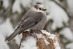 A gray jay perches on a snowy stump in the Shoshone National Forest in Wyoming.