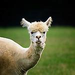 Alpaca - Llama*