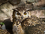 Eyes, spotted owl