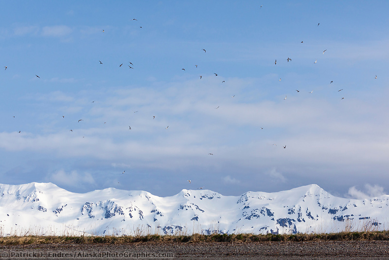 Flocks of Arctic terns fly over Channel Island, snow covered mountains of Montague Island in the distance, Prince William Sound, southcentral, Alaska.