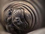 Elephant Seal, California Coast
