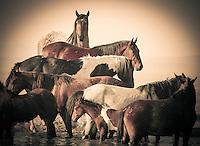 Equine Layers - Wild Horses - Mustangs at the waterhole - Utah