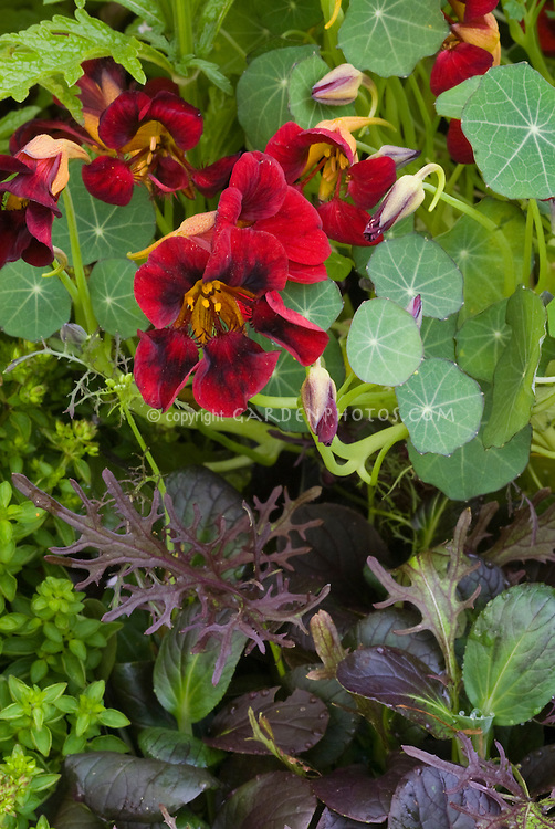 Black velvet Nasturtium flowers