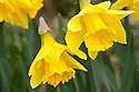 Daffodil (Narcissus 'Jersey Carlton'), a Division 2 Large-cupped variety, mid February.