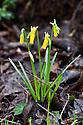 Cyclamen-flowered daffodil (Narcissus cyclamineus), late February.