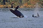 310 Orca - WA