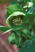 Helleborus hybridus Parrot, green flowered single hellebore flowers and buds