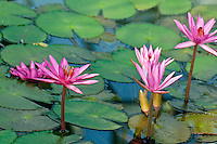 Nymphea &quot;Mrs George C Hitchcock&quot; waterlily in bloom at the National Botanical Garden of Belgium, in Meise.